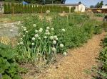 Community Garden: Garlic